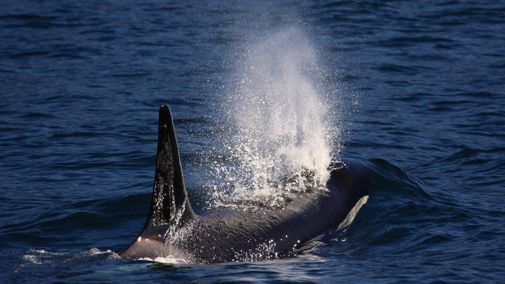 orca-blow-megan-hockin-bennett