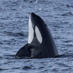 orca-spyhop-rob-lott-300