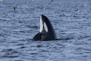 Research shows great white sharks will avoid orca encounters