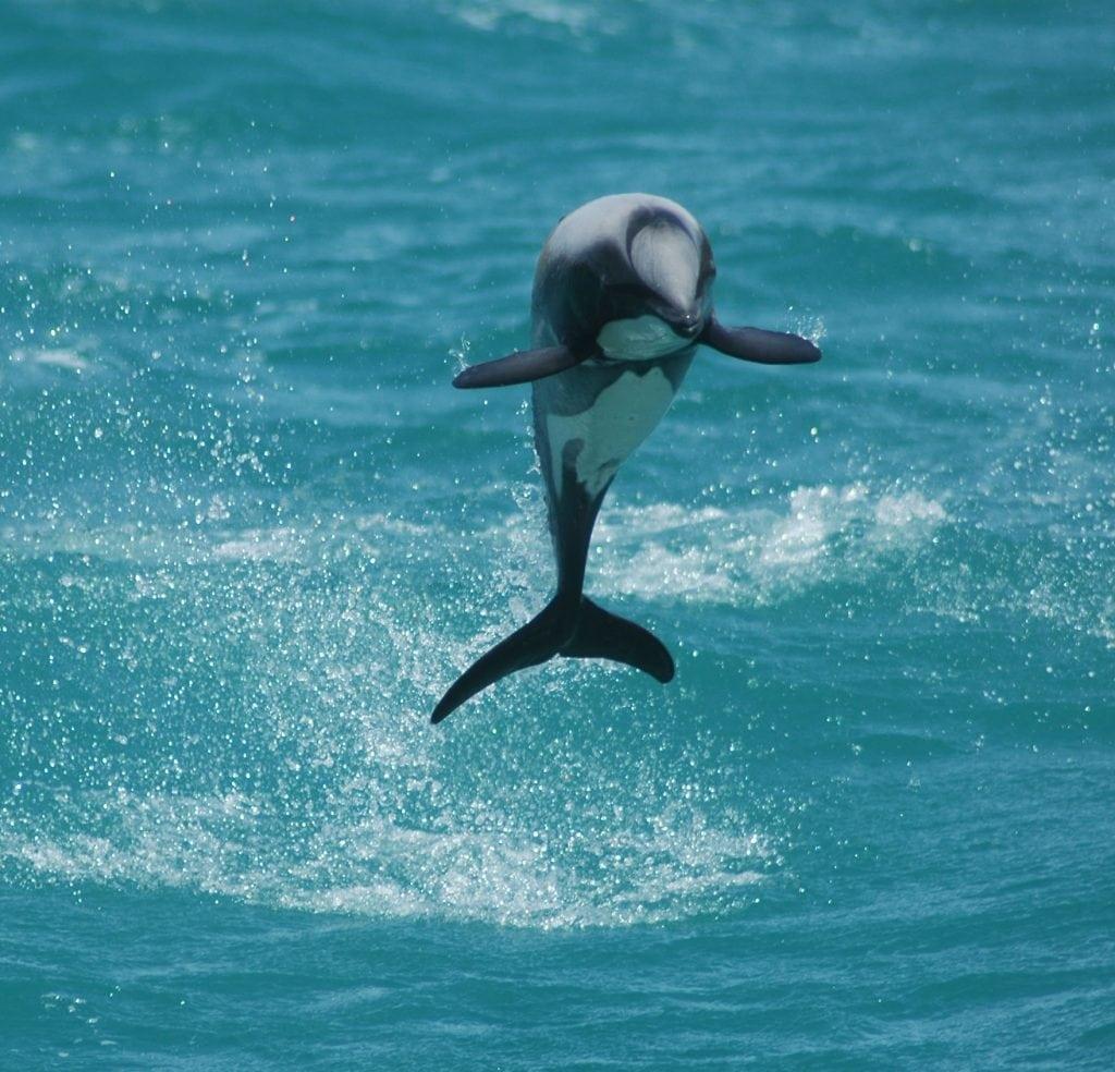 New Zealand dolphin