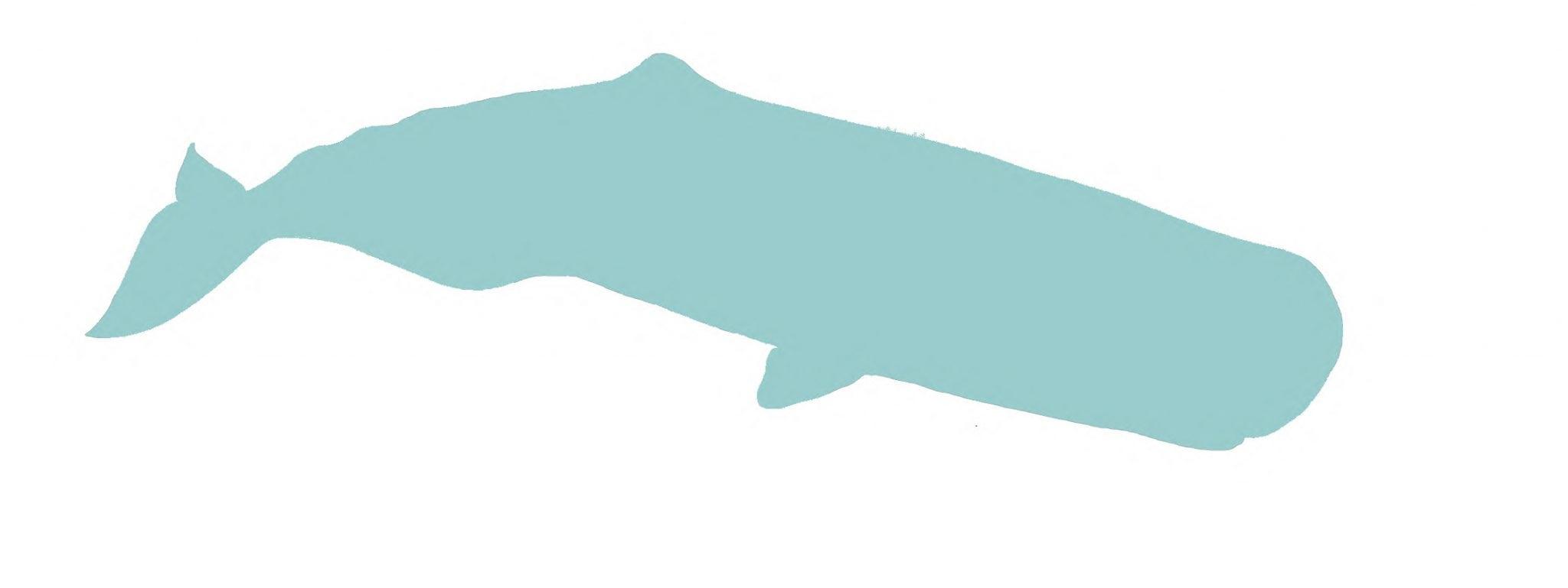 Sperm whale illustration