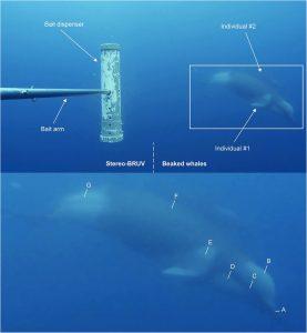 Shepherd's beaked whale filmed underwater for the first time