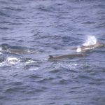 pygmy-beaked-whale-charles-anderson