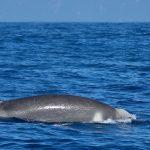Shepherd's beaked whale