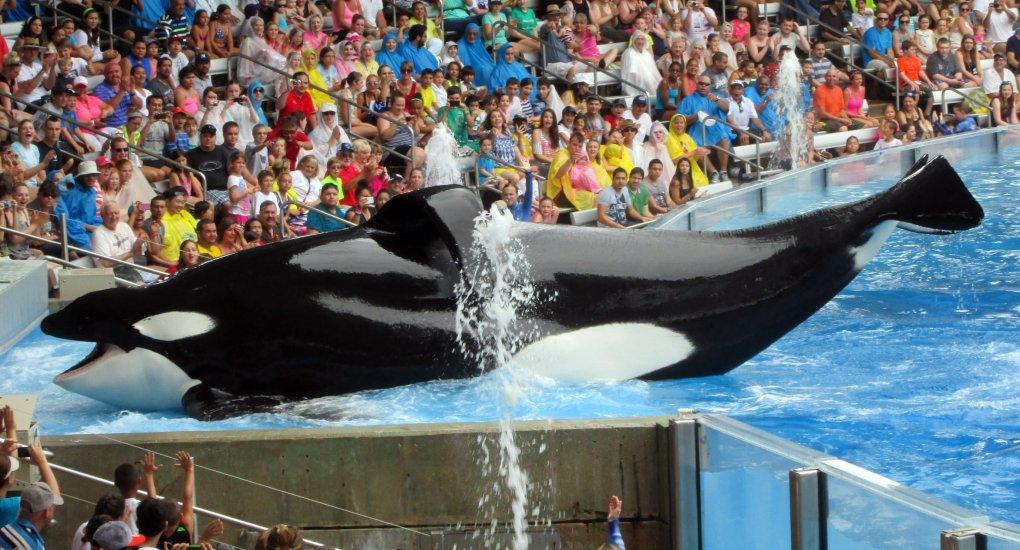 Tilikum the orca