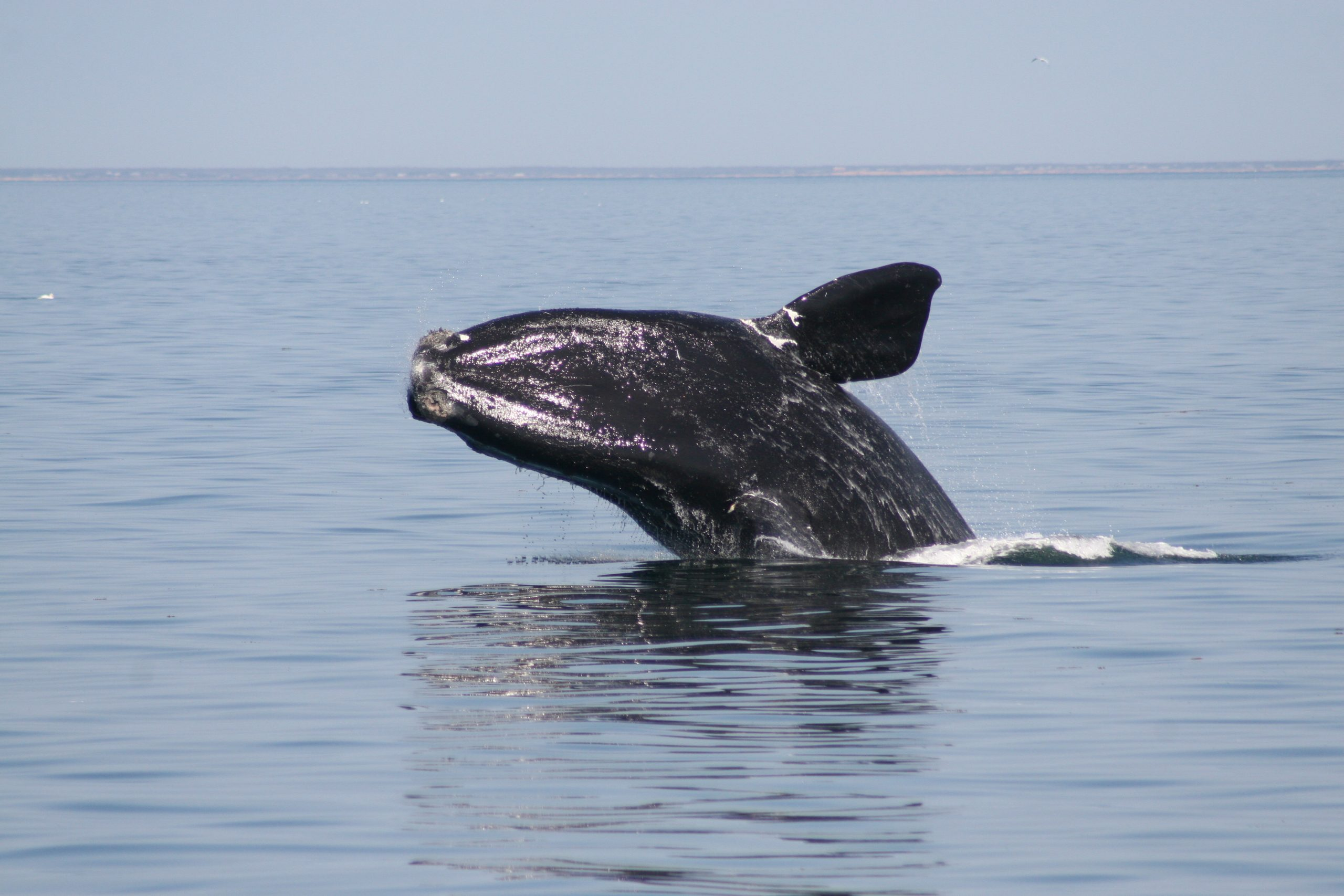 North Atlantic right whale. Photo by Regina Asmutis-Sylvia