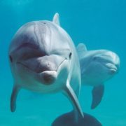 bottlenose dolphins (c), Tursiops truncatus, Israel (Red Sea)