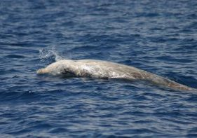 Cuvier's beaked whale