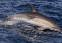 Long-beaked common dolphin