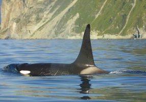 single-orca-ferop
